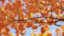 orange fall leaves blowing in the breeze