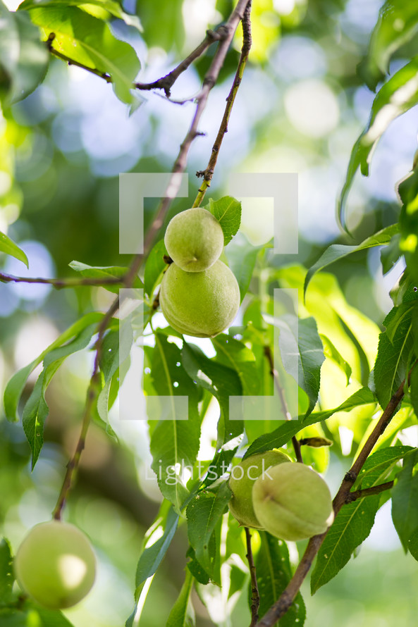 unripe peaches on a tree