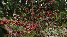 African coffee beans