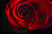 red rose in studio