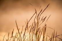 Stalks of dry grass.