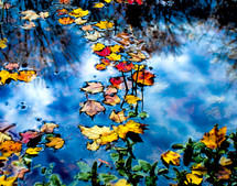 Fall leaves in a pond.