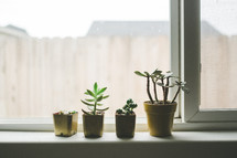 succulent plants in a window sill