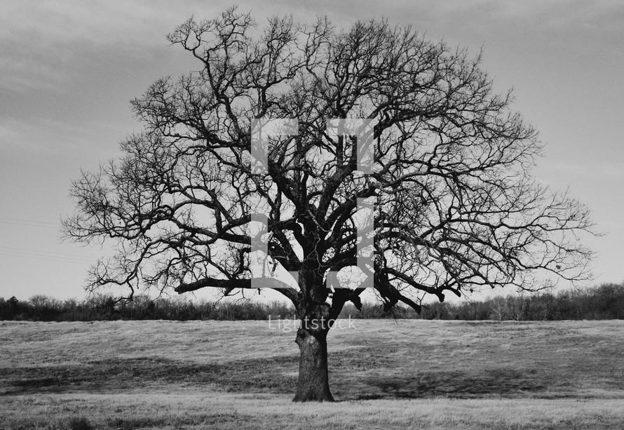 leafless baren winter tree
