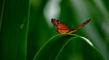 Monarch butterfly sitting on blade of green grass.