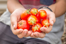 cupped hands holding tomatoes