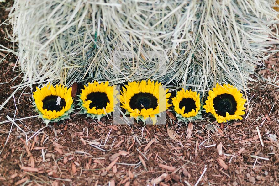 sunflowers on hay