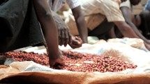 sorting coffee beans