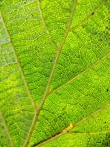 veins in a green leaf