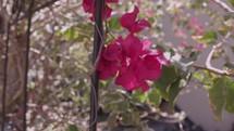 fuchsia flowers on a vine