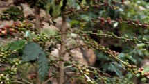 coffee beans on branches