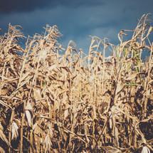 brown corn