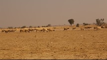 sheep on drought stricken land