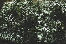 Christmas Tree Close Up with Snow on Evergreen Branches