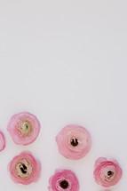 pink peonies on white