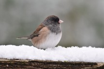 song bird perched in snow
