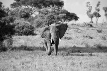elephant in the savanna