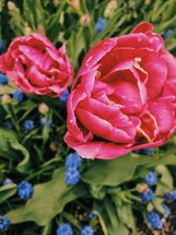 pink tulips and blue flowers in a spring flower bed