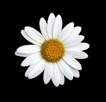 daisy on a black background