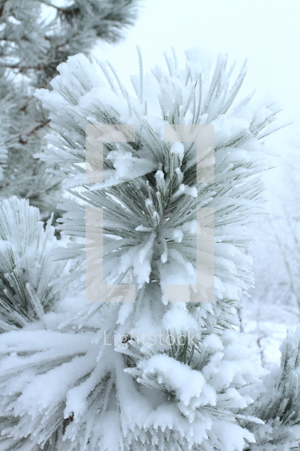 Snow-covered pine tree.