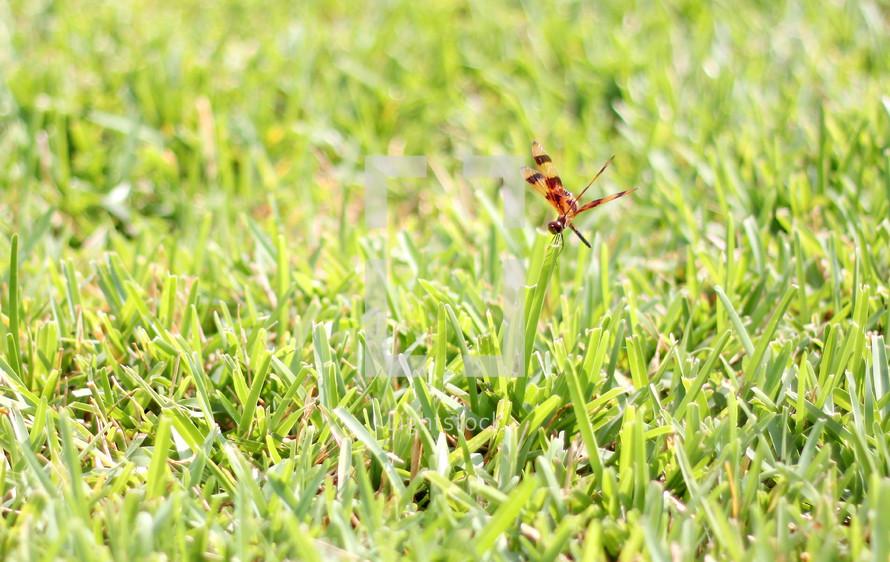 damselfly on a blade of grass
