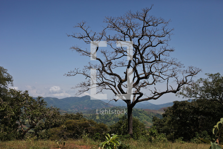 isolated leafless barren winter tree