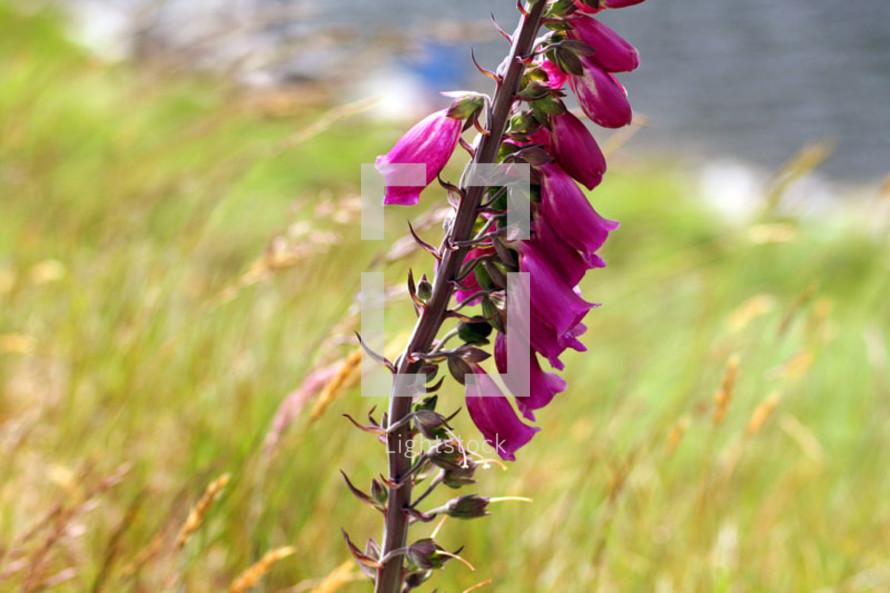 Close up of purple fox glove flower in field.