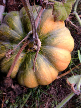 pumpkin growing on a vine