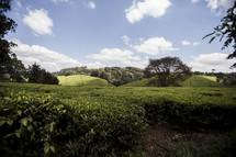 Kiambethu Farms