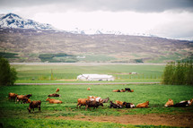 cattle in Iceland