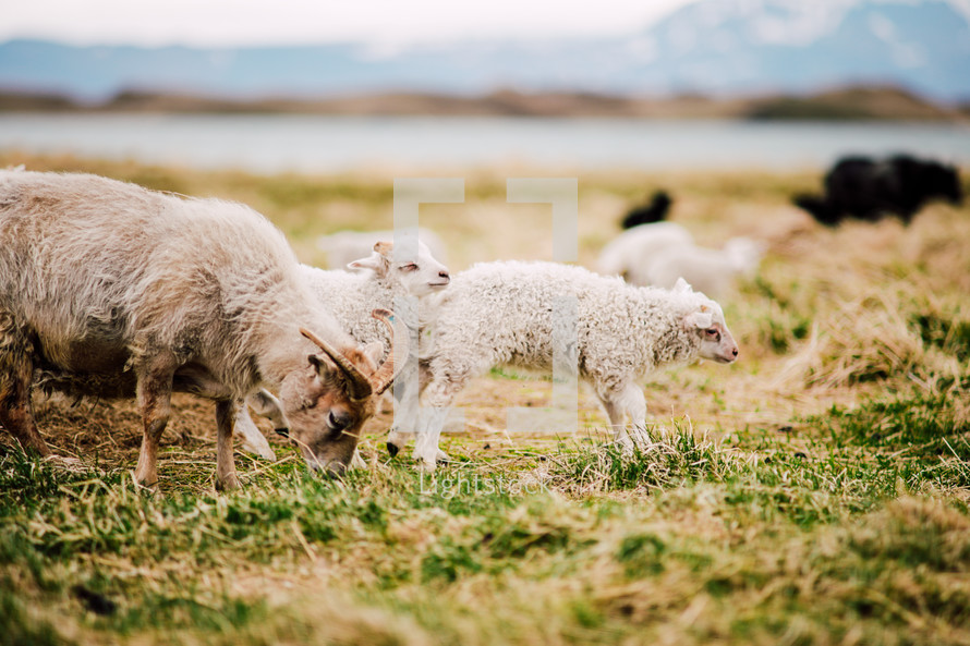 goats on a farm in Iceland