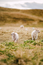 fuzzy baby goats in Iceland