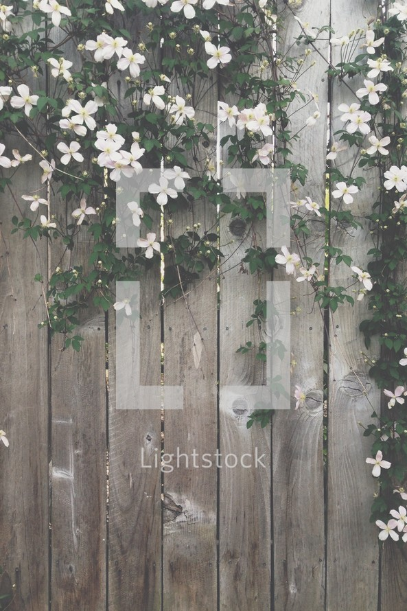white flowers on vines hanging from a wooden fence