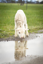 reflection of a lamb in a puddle