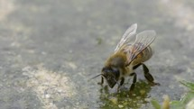 honey bee drinking water