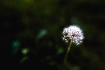 dandelion flower fluff