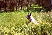 The Watcher in the woods - A German Shepherd dog enjoys a breezy summer in the mountains of Central California in a field of tall grass among the wooded trees of the mountains.