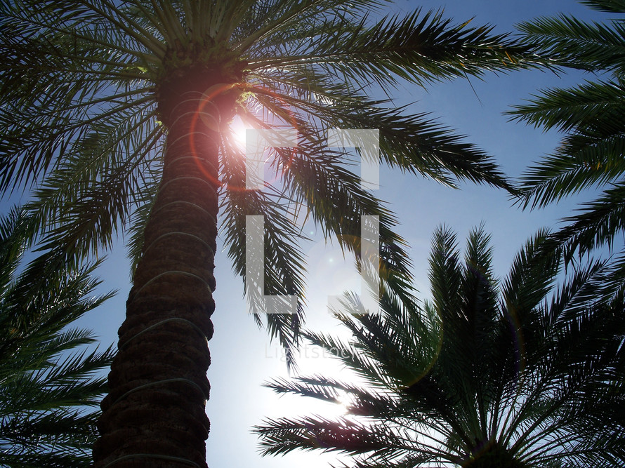 Tropical Palm Trees swaying in the breeze catching the lens flare from sunlight and the gentle warm breeze of the day.