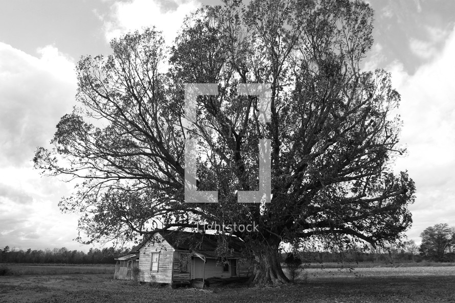 Large tree sheltering old farnhouse.