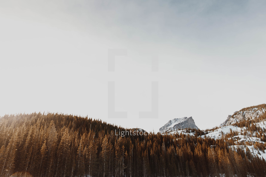 evergreen mountain forest in winter