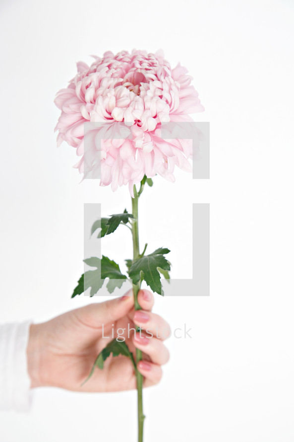 woman holding a pink stemmed flower