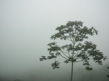 tree in dense fog in Honduras
