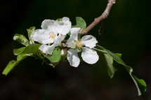 blooms in a spring orchard