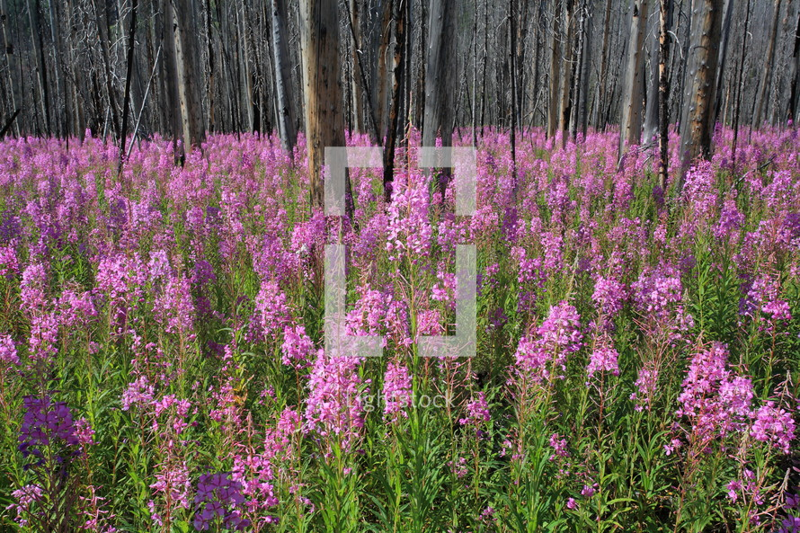 fireweed wild flowers in a burnt forest
