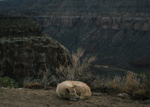 dog resting in front of the Grand Canyon