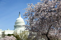 Capital building and cherry blossoms