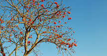 red blossoms on a tree in South Africa