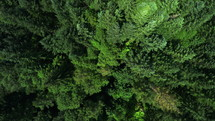 aerial view over a pine forest