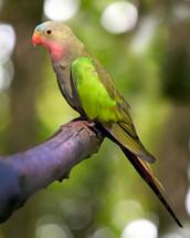 princess parakeet perched on a limb