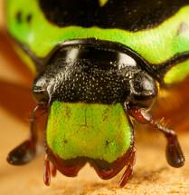 close-up of a green fiddler beetle
